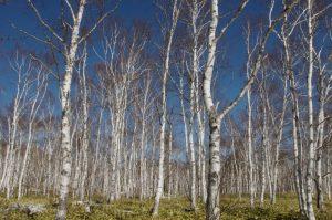 八ヶ岳白樺林